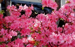 Japanische Rosenquitte, Nikko