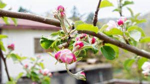 Marienkäfer trifft Pfingstblüte, Kunigawa Onsen, Nikko