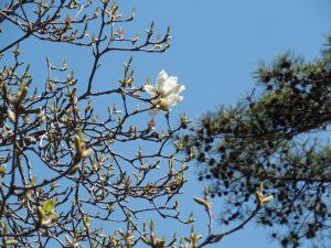 Japanische Magnolie, Nikko